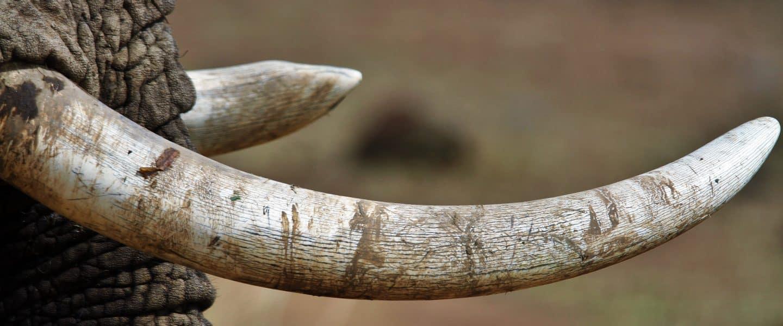 close-up photography of white elephant tusk