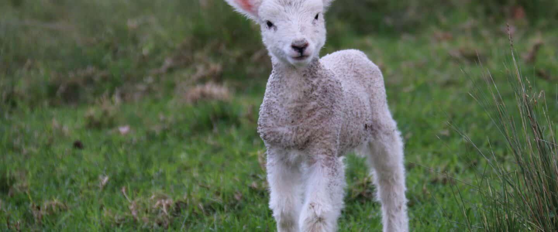 white and gray sheep lamb