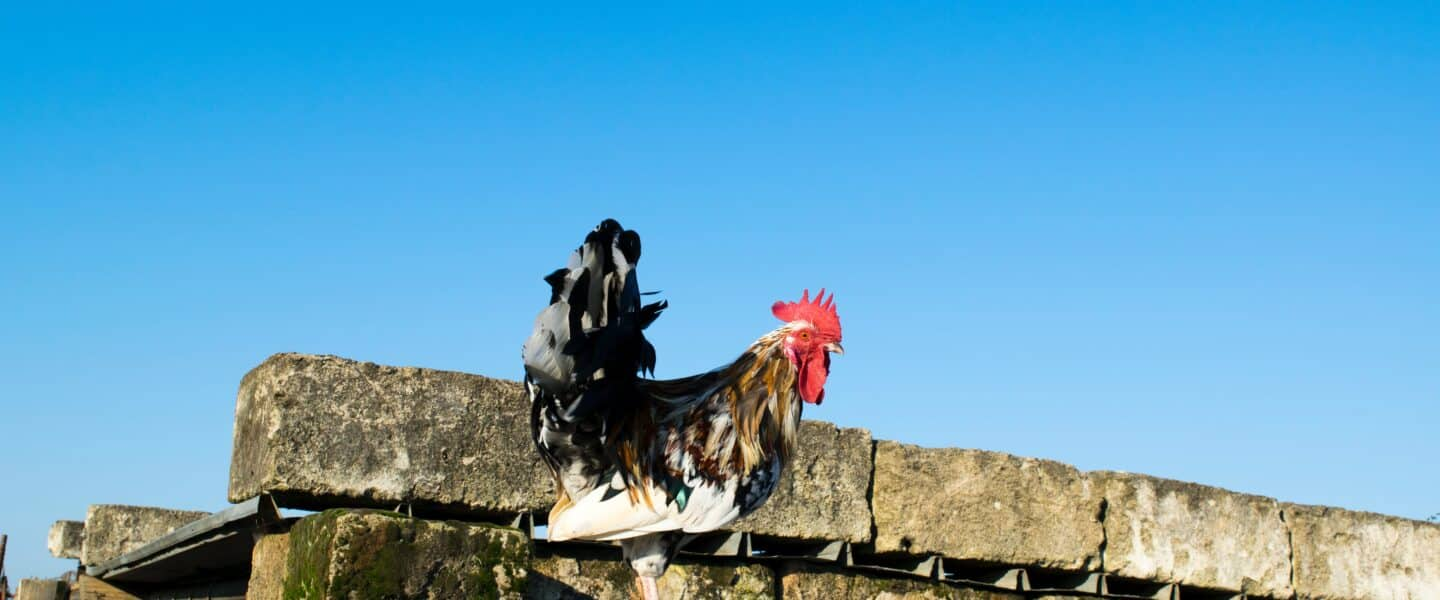 black and white rooster on roof
