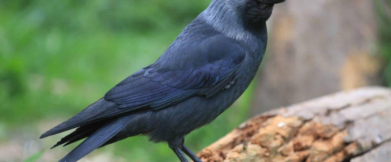 kauw (vogel)