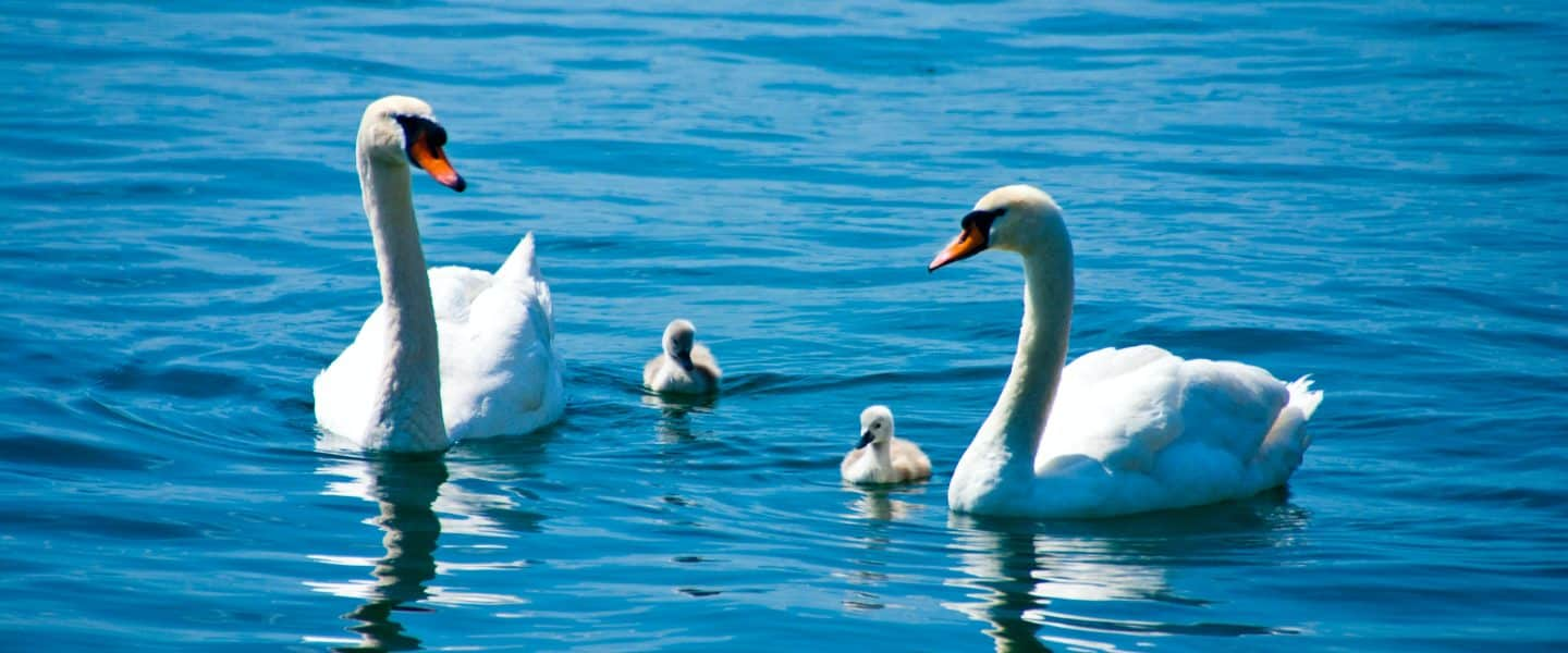 two Swans with chicks