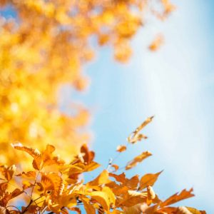 yellow leafed treee under blue sky