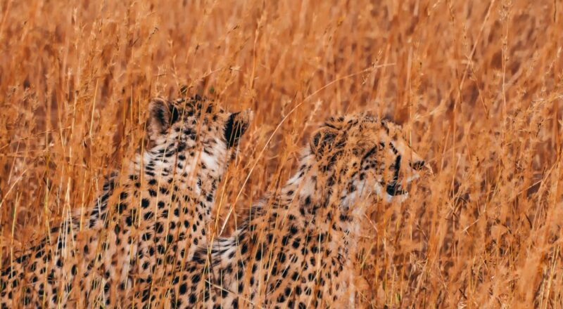 wildlife photography of two cheetahs surrounded by brown plants
